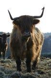 Bestiame su un'azienda agricola fotografie stock libere da diritti