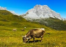 Bestiame su un pascolo della montagna Immagini Stock