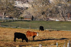 Bestiame su un ranch Fotografia Stock Libera da Diritti