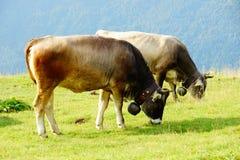 Bestiame sui pascoli della montagna immagini stock libere da diritti