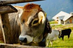 Bestiame sui pascoli della montagna fotografia stock libera da diritti