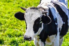 Bestiame sul campo di erba Fotografie Stock Libere da Diritti