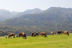 Bestiame sul lago Bohinj del abowe del prato in alpi slovene con le montagne nei precedenti Fotografie Stock
