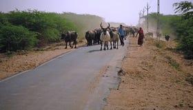 Bestiame sul movimento nel Gujarat Immagine Stock Libera da Diritti