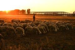 bestiame sul pascolo Fotografie Stock Libere da Diritti