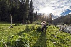 Bestiame sul pascolo Immagini Stock Libere da Diritti