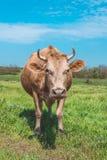Bestiame sul pascolo Agricoltura e coltivare in Europa Immagini Stock