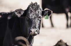 Bestiame sul pascolo libero in Colorado rurale Fotografie Stock