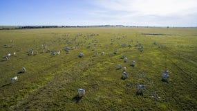 Bestiame sul pascolo nello stato del grosso di mato nel Brasile Il 2 luglio, Immagine Stock