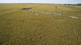 Bestiame sul pascolo nello stato del grosso di mato nel Brasile Il 2 luglio, Fotografia Stock Libera da Diritti
