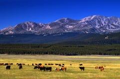 Bestiame sull'intervallo del Colorado Fotografia Stock Libera da Diritti