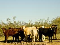 Bestiame sull'intervallo dell'Arizona. immagini stock