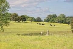 Bestiame sulla collina Fotografia Stock Libera da Diritti