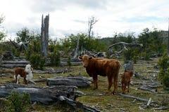 Bestiame sulla riva di Lago Blanco Fotografie Stock Libere da Diritti