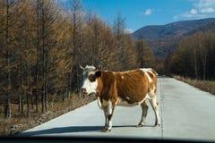 Bestiame sulla strada Fotografie Stock