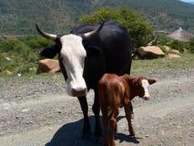 Bestiame sulla strada Fotografie Stock Libere da Diritti