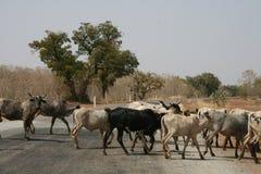 Bestiame sulla strada Immagine Stock