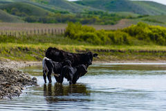 Bestiame sulle praterie Fotografia Stock Libera da Diritti
