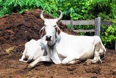 Bestiame in Tailandia Fotografie Stock Libere da Diritti