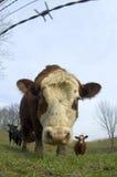 Bestiame in un campo 01 (grandangolari) fotografie stock