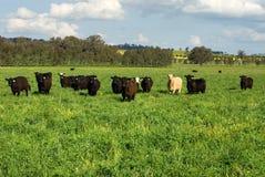 Bestiame in un campo Fotografia Stock