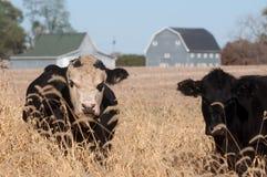 Bestiame in un pascolo Immagini Stock Libere da Diritti