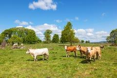 Bestiame in un pascolo Immagine Stock