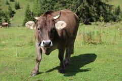 Bestiame in valle di Lechtal Immagini Stock Libere da Diritti