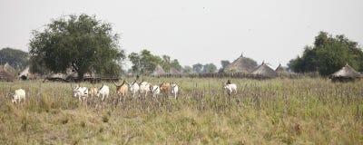 Bestiame in villaggio africano Fotografia Stock