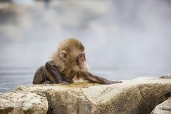 Bestimmung: Nasser, wilder Baby-Schnee-Affe Stockbild