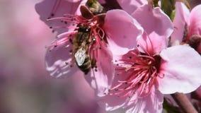 Bestäubung von Blumen durch Bienenpfirsich stock footage