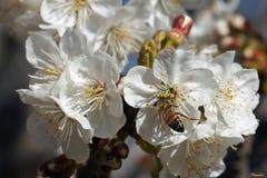 Bestuif - de Witte en gele bloei van de fruitboom nog overvloedig in het vroege gezoem van April positief met extatische honingbi stock afbeeldingen