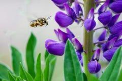 bestuiving De bij vliegt en verzamelt nectar van een purpere lupine royalty-vrije stock foto's