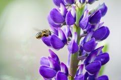 bestuiving De bij vliegt en verzamelt nectar van een purpere lupine stock fotografie