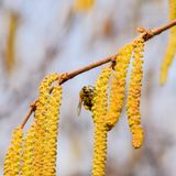 Bestuiving door de hazelnoot van bijenoorringen Bloeiende hazelaarhazelnoot stock foto