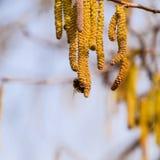 Bestuiving door de hazelnoot van bijenoorringen Bloeiende hazelaarhazelnoot stock afbeelding