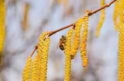 Bestuiving door de hazelnoot van bijenoorringen Bloeiende hazelaarhazelnoot royalty-vrije stock foto