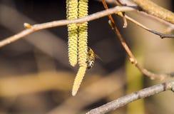 Bestuiving door de hazelnoot van bijenoorringen Bloeiende hazelaarhazelnoot royalty-vrije stock afbeelding