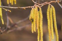 Bestuiving door de hazelnoot van bijenoorringen Bloeiende hazelaarhazelnoot royalty-vrije stock foto's