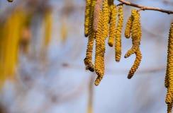 Bestuiving door de hazelnoot van bijenoorringen Bloeiende hazelaarhazelnoot royalty-vrije stock fotografie
