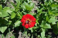 Bestuiving van rode bloem van Zinnia stock afbeeldingen