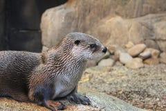 Besuch des Biodome von Montreal - Fluss Otter lizenzfreie stockfotos