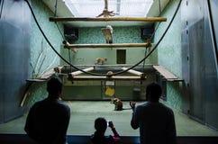 Besucher, die eine Affefamilie bei Berlin Zoo aufpassen Stockbilder