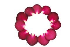 Betätigen Sie Blume von der rosafarbenen Blume des Rotes Lizenzfreie Stockfotografie