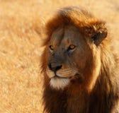 Betäubter männlicher Löwe-Kopf-Schuss Stockfotografie