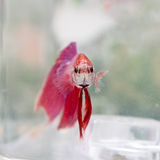 beta鱼 库存照片