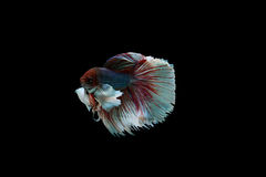 beta鱼 免版税图库摄影