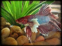 Beta. Colorful beta fish Royalty Free Stock Photography