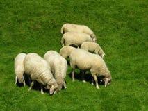 beta för flock Arkivfoton
