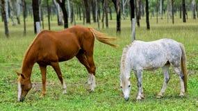 Beta för hästar royaltyfria foton